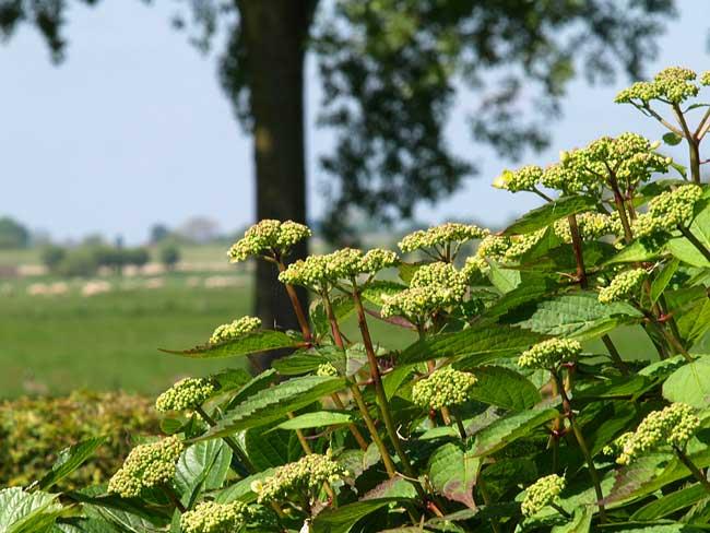 Foto een lacecap hortensia vol in de knop tijdens het voorjaar dat